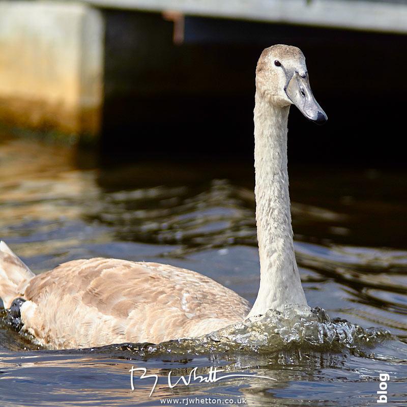 Juvenile swan - Portrait Photography Dorset