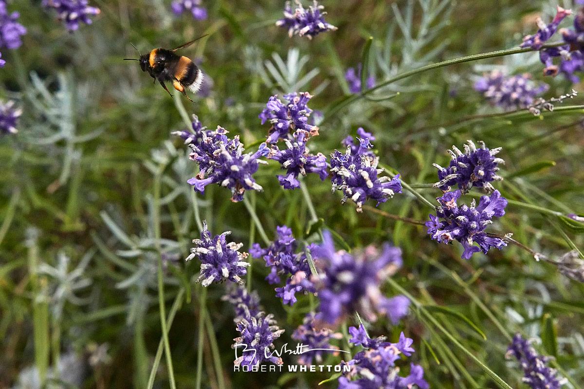IMAGE: http://www.photographs.rjwhetton.co.uk/forums/Garden-Jul-24-132038-5553-7D-Mark-II.jpg
